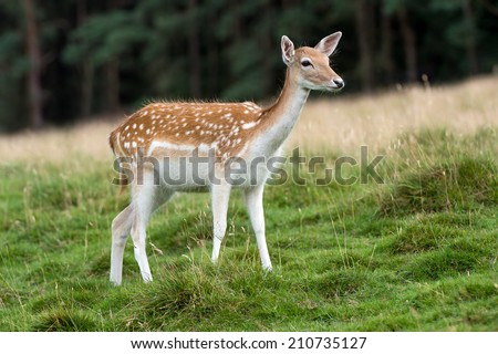 Fallow Deer against a blurred forest background/Fallow Deer/Fallow Deer (dama dama)