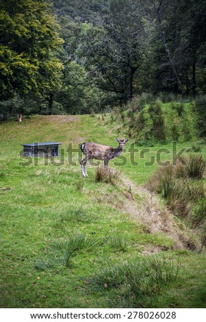 Fallow Deer against a blurred forest background/Fallow Deer/Fallow Deer (dama dama) - stock photo