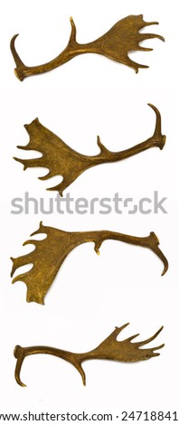 Fallow-deer antlers, a rare trophy for any hunter. - stock photo