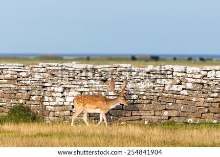 Fallow deer  buck by a stone wall - stock photo