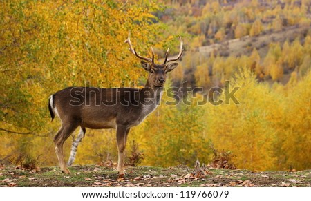fallow deer buck ( dama dama ) standing proud in a glade during the mating season in fall
