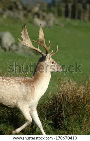 Fallow deer buck, Dama dama, West Coast, South Island, New Zealand - stock photo