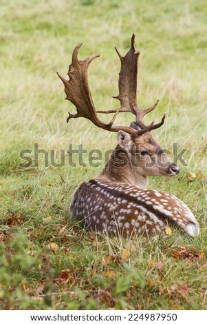 Fallow deer buck with antlers in autumn lying down - stock photo
