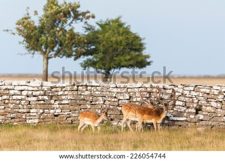 Fallow deer  bucks standing at a stone wall - stock photo