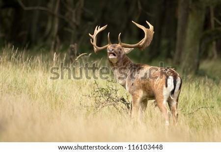 Fallow deer burls at mating season - stock photo