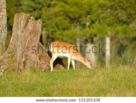 Fallow deer, Dama dama, grazing a paddock in Westland, New Zealand - stock photo
