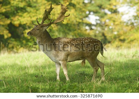 Fallow deer, Dama dama, selective focus and diffused background, during the Autumn rutting season with grass, orniments, hanging off its antlers, The Cotswolds, Gloucestershire, United Kingdom - stock photo