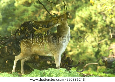 Fallow deer, Dama dama, selective focus and diffused background, during the Autumn rutting season with grass, ornaments, hanging off its antlers, The Cotswolds, Gloucestershire, United Kingdom - stock photo