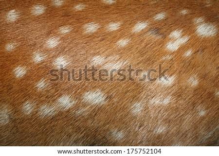 fallow deer ( dama ) spots on textured real  fur detail - stock photo