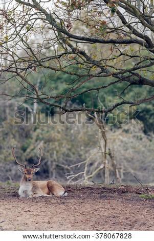 Fallow deer during mating season - stock photo