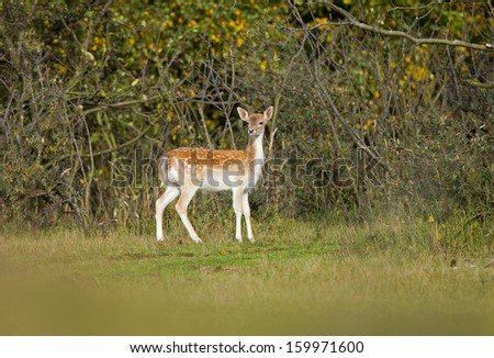 Fallow deer during the rutting season