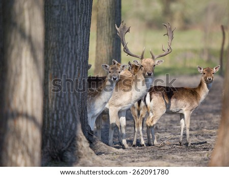 Fallow deer family standing in forest and looking at camera - stock photo