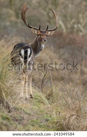 Fallow deer in autumn - stock photo
