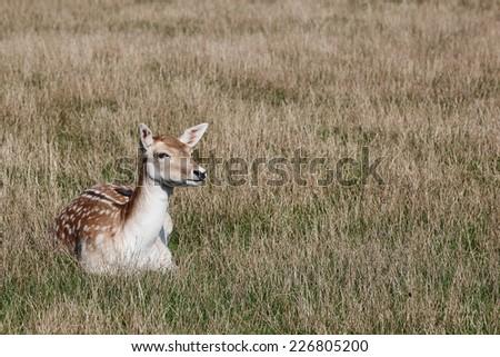 Fallow deer in nature - stock photo