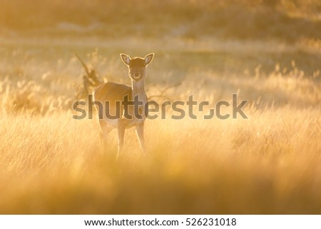 fallow deer in the last light of the day