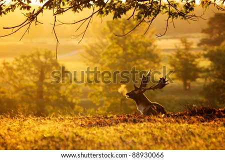 Fallow Deer lazing in the morning sun - stock photo