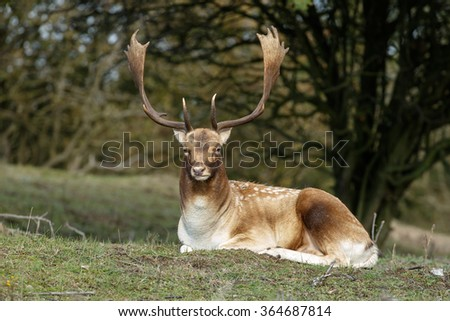 Fallow deer lying in grass during mating season - stock photo