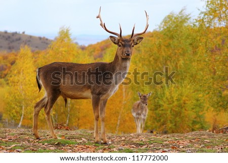 fallow deer male ( dama dama ) in a beautiful colored forest - stock photo