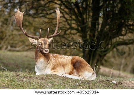 Fallow deer male during mating season in nature  - stock photo