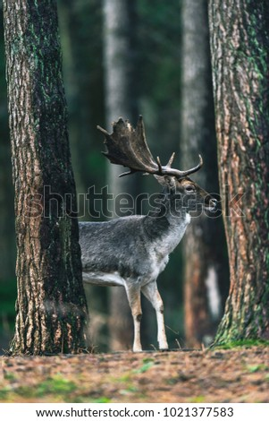 Fallow deer male with dark gray fur between tree trunks in forest.