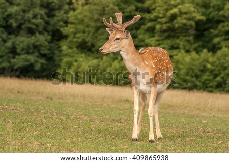 Fallow deer near a forest in the grass