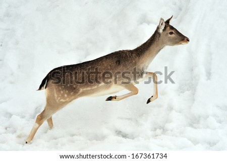 Fallow deer running in winter forest - stock photo