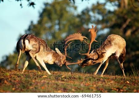 Fallow Deer Rutting - stock photo