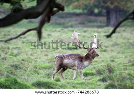 Fallow Deer Stag at Petworth Park during the rut