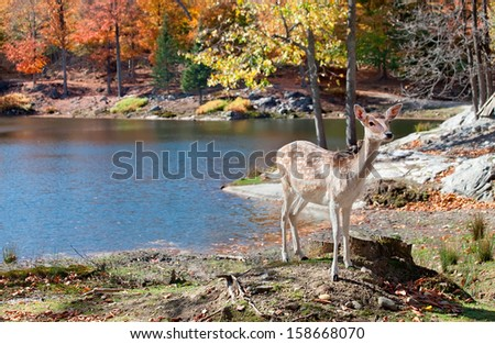 Fallow Deer Standing by the Lake on a Fall Day - stock photo