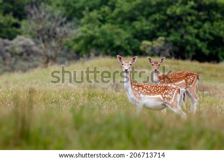 Fallow deer standing in the dunes - stock photo
