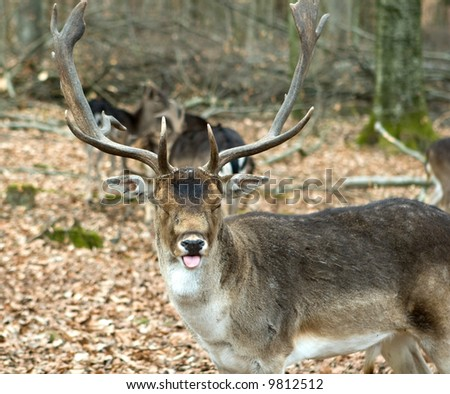 Fallow deers in the forrest sticking out its tung