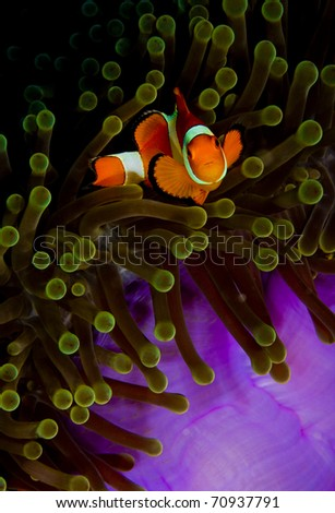 False clown anemonefish (Amphiprion ocellaris) in a green and purple anemone, looking into the camera. Taken in the Wakatobi, Indonesia.