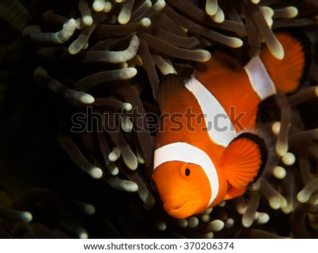 False Clown Fish behind Anemone Coral - stock photo