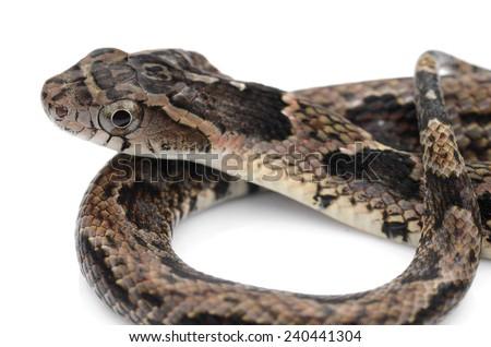 False fer de lance (Xenodon rhabdocephalus) - stock photo