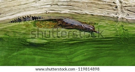 False Gharial Crocodile Floating in Water Near Shore - stock photo