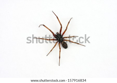 False Widow Spider, Steatoda nobilis - stock photo