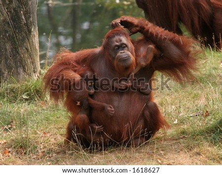 Family affairs; mother orang utan trying to keep her two babies together - stock photo