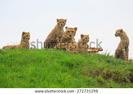 family cheetah - stock photo