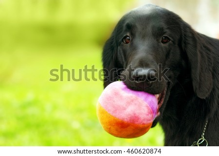 family dog black Labrador Retriever having fun in the summer outdoors, playing ball, holding it in his teeth, portrait, close-up, place for text