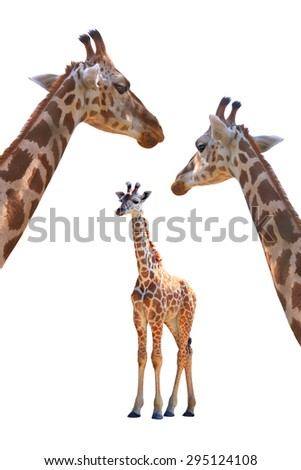 family giraffes isolated on white background - stock photo