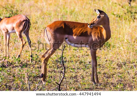 Family graceful impala posing in sunlight sunset. Sunny day in the Kruger National Park, South Africa - stock photo