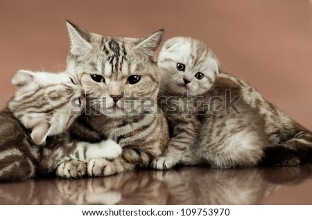 family group of two  beautiful kitten with mother, breed scottish-fold,  lie on brown  background