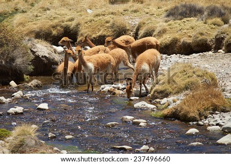 Family group of vicuna (Vicugna vicugna) drinking and bathing in a stream, high in the Atacama desert of north east Chile near Lauca National Park. - stock photo