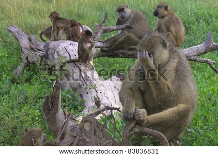 Family life is tough for this adult male baboon - stock photo