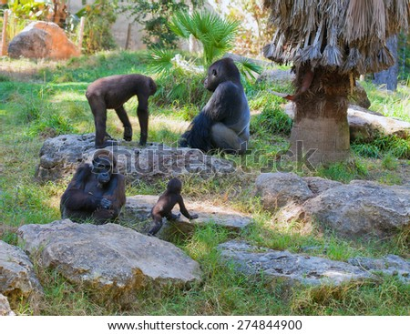 Family life of gorillas in natural environment at sunset - stock photo