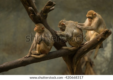 Family macaque cleaning each other