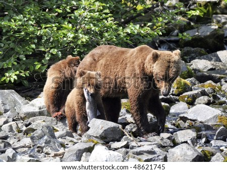 family of bears eating salmon