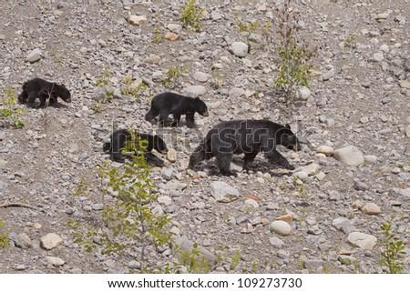 Family of Black Bears. - stock photo