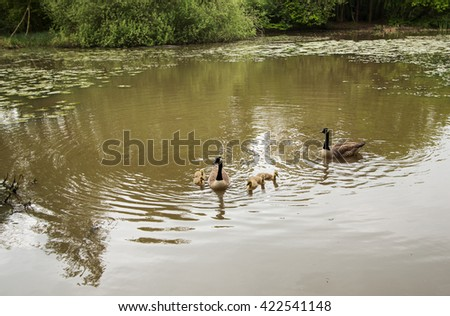 Family of Canadian geese taking goslings for a swim - stock photo