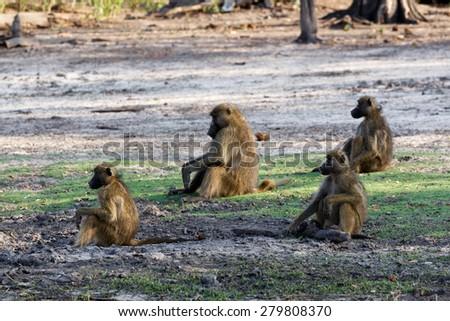 family of Chacma Baboon (Papio anubis), Chobe National Park in Botswana - stock photo